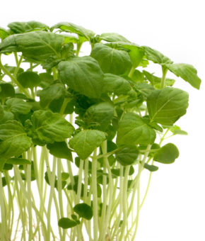 Shiso Green Cress Cresco - Shiso
