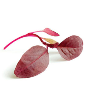 Micro Red Amaranth Cresco - Barbabietola delicata